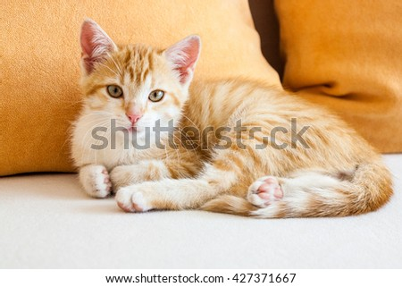 Cat ginger in the living room on the couch with orange pillow looking at the camera - stock photo