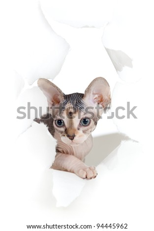 cat in paper side torn hole isolated - stock photo