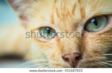 Cat in the Green Grass in Summer. Beautiful Red Cat with Yellow Eyes Cat Eyes Cat Cat  Yellow Eyes Yellow Eyes   Beautiful Red Cat with Yellow  - stock photo