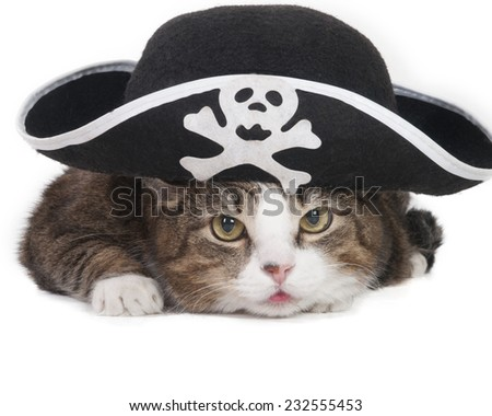 Cat in the Hat Pirate on a white background in studio - stock photo