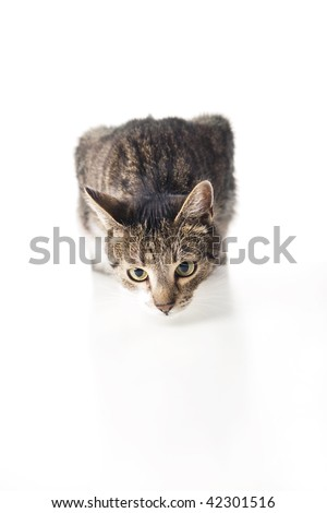 Cat isolated on white is sniffing on white table. Selective focus - stock photo