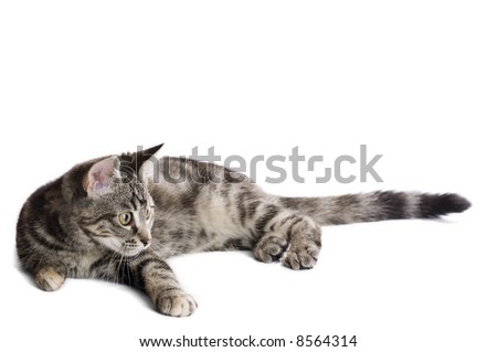 Cat keeping a good eye on something out of frame. You can easily insert the object you want the cat to focus on. - stock photo