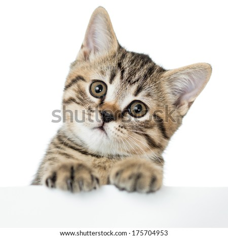 cat kitten peeking out of a blank placard, isolated on white background - stock photo