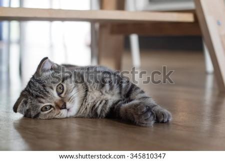 cat kitten sleep on wood floor under wood table - stock photo