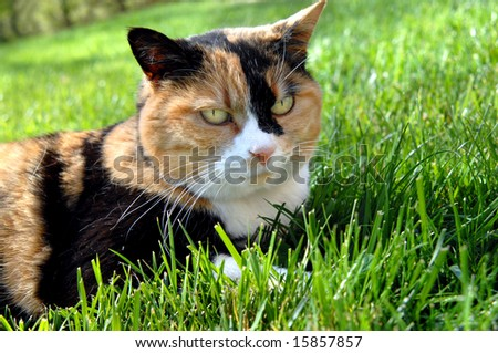 Cat lays on grassy lawn.  His ears are perked in irritation.  Calico cat in rust, black and white. - stock photo