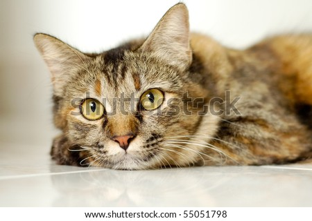 cat light brown and cream looking with pleading stare. portrait cat. - stock photo