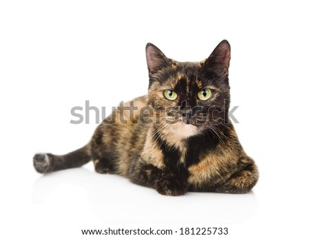 cat lying and looking at camera. isolated on white background - stock photo