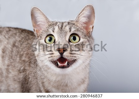 cat meows gray tabby Shorthair - stock photo