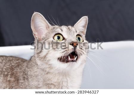 cat meows gray tabby Shorthair - stock photo