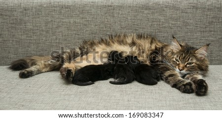 cat mother feeds her kittens milk - stock photo