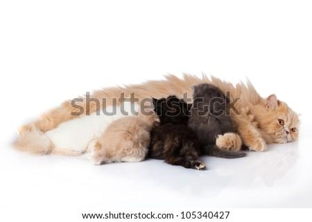 Cat nursing her kittens.The cat feeds a kittens.  little kitten on white background. persian kitten - stock photo