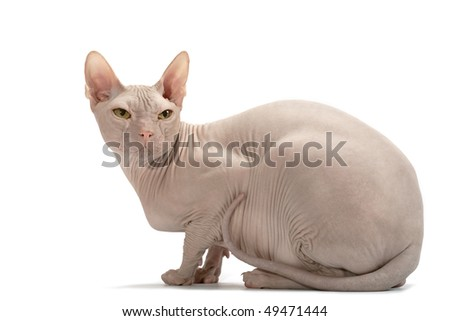 Cat of breed Don the Sphynx isolated on a white background - stock photo