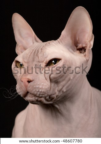 Cat of breed the Don Sphynx - stock photo