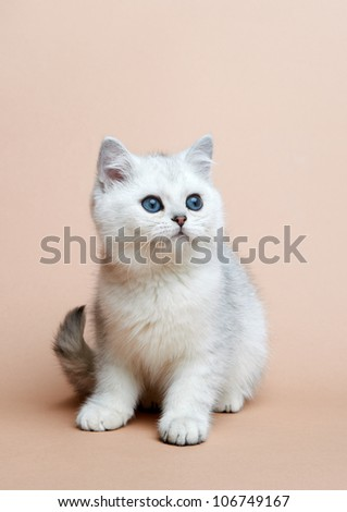 Cat of the British breed. Rare coloring - a silvery chinchilla - stock photo