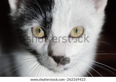 Cat on black background. Cat Staring Intensely into the Camera - stock photo
