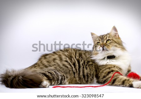 Cat (pet) - Maine Coon laying and playing with ball of red wool - stock photo
