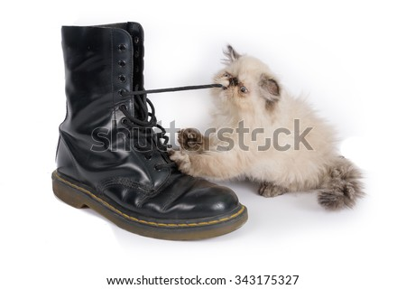 Cat playing with a boot and its laces - A two month old Blue Point Himalayan Persian kitten in play - stock photo