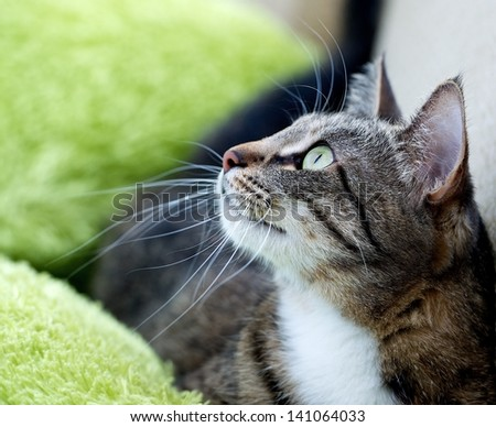 Cat portrait close up,body crop, looking to the top, cat in light blur green background  looking, cat head, streaky cat lying on green carpet on green background, one cat in flat on green background - stock photo