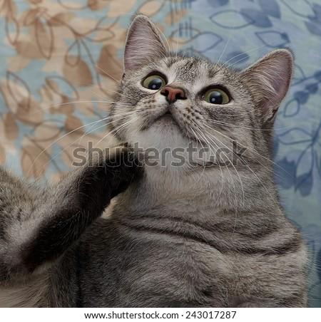 Cat portrait close up, curious cat, domestic cat, scratching cat only head close up, scratching cat - stock photo
