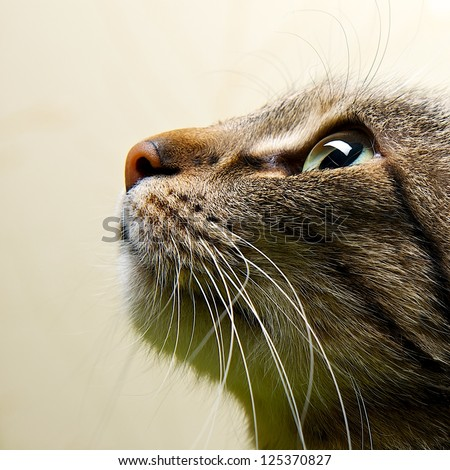 Cat portrait close up, only head crop, looking to the top, cat in light brown and cream looking with pleading stare at the viewer with space for advertising and text, cat head - stock photo