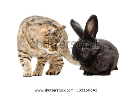 Cat Scottish Straight and black bunny together isolated on white background - stock photo