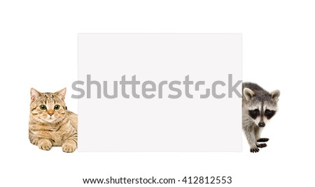 Cat Scottish Straight and raccoon, peeking from behind banner, isolated on white background - stock photo