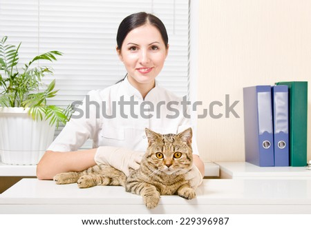 Cat Scottish Straight at the vet - stock photo