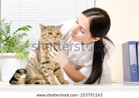 Cat Scottish Straight on inspection at the vet - stock photo
