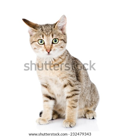 cat sitting in front and looking at camera. isolated on white background - stock photo