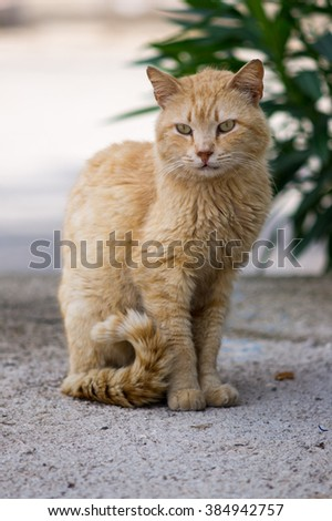 Cat sitting on a street. Big serious street ginger cat. Lonely cat on the street watching into nowhere. Cute dirty cat in one of Antalya streets, Turkey. - stock photo