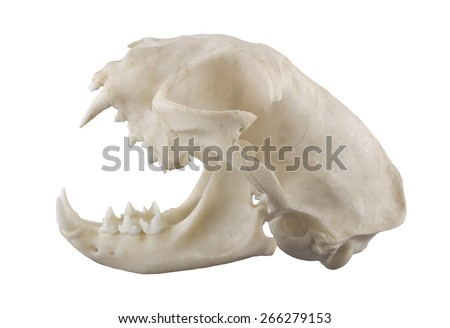 Cat skull isolated on a white background - stock photo