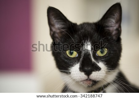 Cat Staring Intensely.  - stock photo