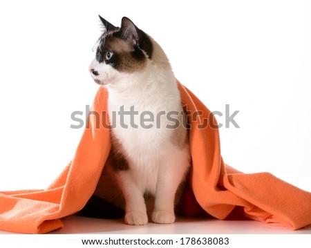 cat under covers - ragdoll sitting under orange blanket on white background - male - stock photo