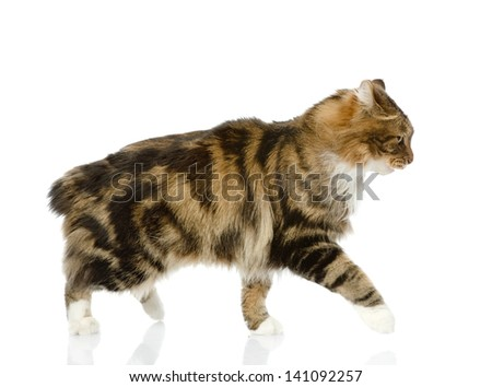 cat walking. isolated on white background. looking away - stock photo