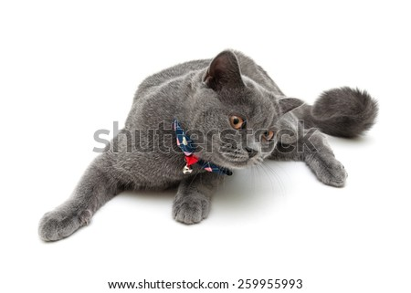 cat wearing a collar with bow and jingle isolated on a white background. horizontal photo. - stock photo