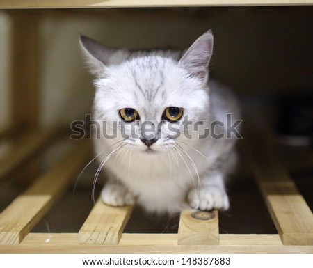 Cat: White and grey british shorthair thinking bad thing hiding in the clothes chest - stock photo