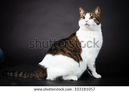 Cat white brown spotted isolated on black background. Studio shot. - stock photo