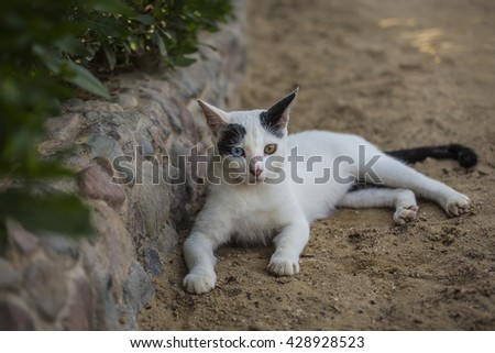 cat white sand. White cat with black spots and eyes in different colors lying on the street in the sand near a bush and a stone curb - stock photo