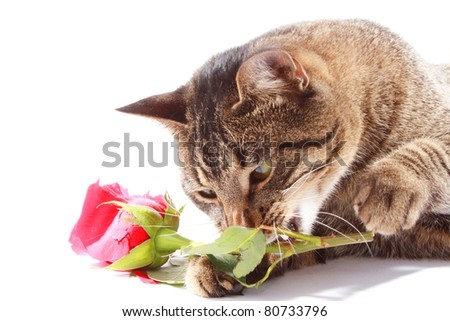 Cat with a rose - stock photo