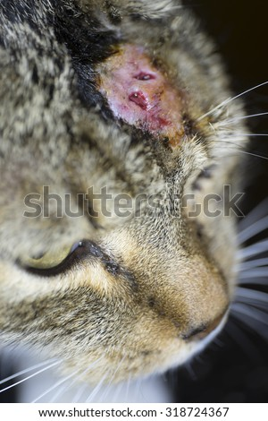 Cat with abscess from bite wound on head - stock photo
