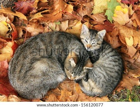 cat with baby cat sleeping in bright autumn leaves in Druskininkai, resort in Lithuania  - stock photo