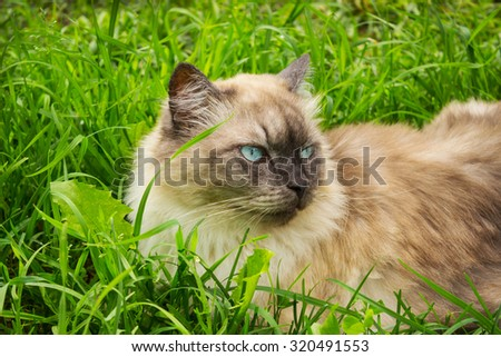 Cat with blue eyes lies in a thick green grass - stock photo