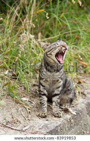 Cat yawning - stock photo