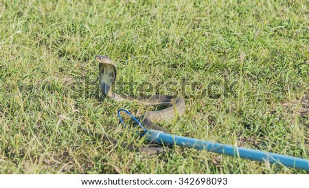 Catch Cobra on the grass field with sling. select focus. - stock photo