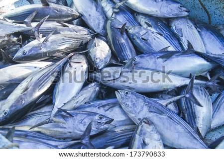 catch of fresh tuna - stock photo