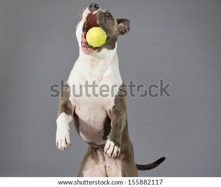 Catching a tennis ball american bull terrier portrait. Brown with white spots. Studio shot against grey. - stock photo