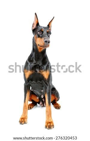 Catching look. Doberman pinscher sitting on white isolated background. - stock photo