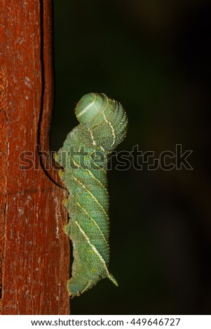 Caterpillar, Big green worm, insects. - stock photo