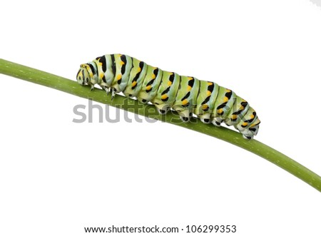Caterpillar Butterfly Eastern Black Swallowtail (Papilio polyxenes) crawling on a branch - stock photo