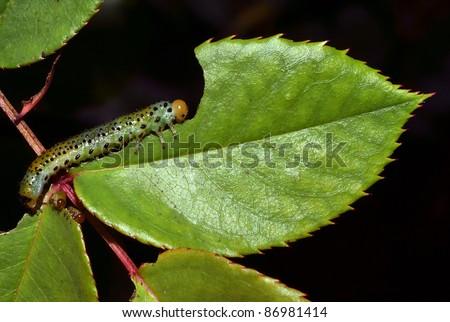 caterpillar eating leaf in the garden - stock photo